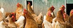 Qoopy, Luxury Day Care Service for Pet Chickens in Brooklyn, San Francisco and Portland, Oregon