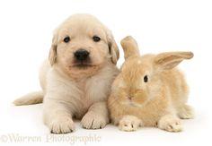 Baby sandy Lop rabbit with Golden Retriever pup