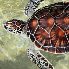 John Howell.   Gorgeous turtle