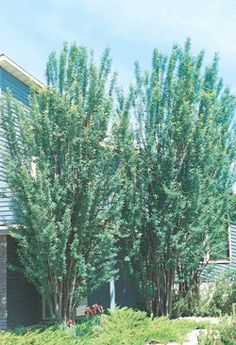 Sutherland Caragana.  Consider for privacy between houses instead of columnar aspen