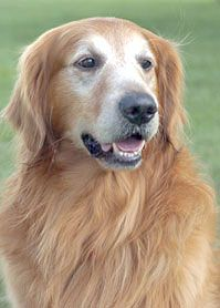 Brutis a 7 year old golden retriever when he became a hero in 2004. That's when the loveable pooch snatched up a coral snake as it was slithering dangerously close to a young child, suffering a near-deadly bite from the snake in the process. His heroic deed did not go unnoticed however, as Brutis was promptly flown to Los Angeles to recieve the National Hero Dog award. ️(Source: 25 Hero dogs)️PM