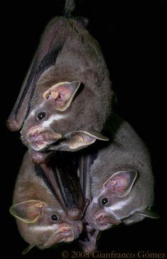 Artibeus phaeotis...tent making bats