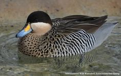Silver Teal (Anas versicolor) Birds 2, Pet Birds, Rooster Breeds, Ducky Duck, Teal Duck, Red Bill, Green Wing, Peafowl, Blue Wings
