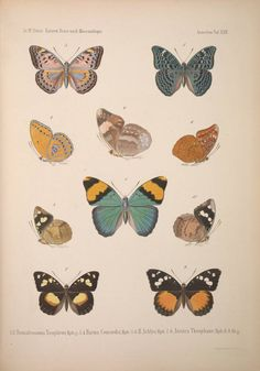 Smithsonian Institution Libraries Detail of Species of butterfly Image no.39088002388841_0639