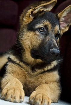 These little German Shepherd guys are incredible. I never get tired of their qualities.