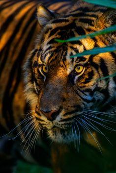 Rayos de sol sobre el tigre