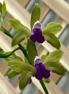 Orquídea - beleza rara