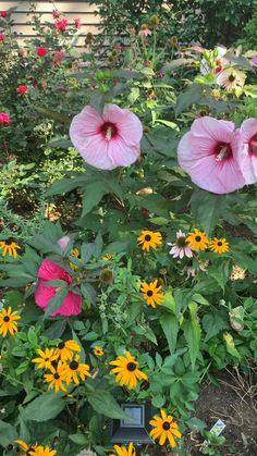 Summerific Hibiscus in the Cottage Garden