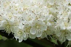 Rowan in full flower   looduskalender.ee