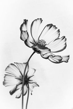 Ethereal image of Cosmos flowers wins photo competition - BBC News Black White Photos, Black And White, Florida Botanical Gardens, Aquarell Tattoos, Cosmos Flowers, Spring Flowers, Photo Competition, Photo Projects, Flower Tattoos
