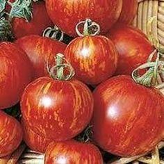 Eko Vanlig tomat Tigerella,  Strimmig tomat, god, tålig, medelstor. Binds upp och tjuvas. 25 kr.