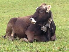 Mountain beauty #cow #switzerland