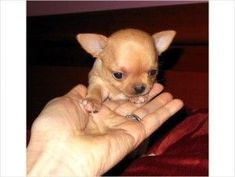 Effective Potty Training Chihuahua Consistency Is Key Ideas. Brilliant Potty Training Chihuahua Consistency Is Key Ideas. Chihuahua Puppies, Dogs And Puppies, Chihuahuas, Teacup Puppies, I Love Dogs, Cute Dogs, Awesome Dogs, Training Your Dog, Training Tips