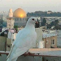 """""""A symbol of Hope for peace at the Temple Mount in Jerusalem. Israel Palestine, Jerusalem Israel, Terra Santa, Temple Mount, Mekkah, Hope Symbol, Israel Travel, Holy Land, Places To See"""