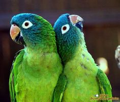 Blue crowned parakeets aka blue crowned conures