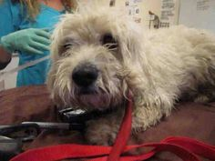 ~ Animal ID #A1184020 ‒ I am a Male, White Miniature Poodle. The shelter thinks I am about 3 years old. I have been at the shelter since April 01, 2015. Riverside County Animal Control - Riverside Shelter Telephone ‒ (951) 358 7387 6851 Van Buren Blvd. Riverside, CA Fax: (951) 358-7300 https://www.facebook.com/OPCA.Shelter.Network.Alliance/photos/pb.481296865284684.-2207520000.1428740870./802099366537764/?type=3&theater