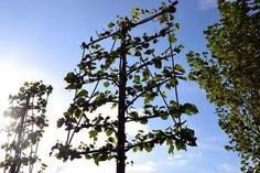 Lei (fruit) bomen, geschikt langs erfgrens of kleine tuin. Plus dat fruit veel zo'n krijgt, omdat er weinig takken/blaadjes voor hangen.