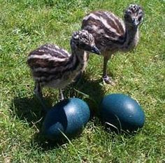 Baby Emu & eggs