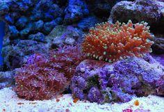 corals