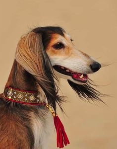 Saluki Dog Collar