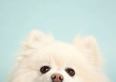 Pomeranian. By Sharon Montrose.