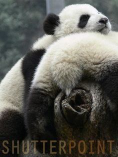 504 Best Pin For Pandas images in 2018   Cutest animals
