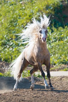 Welsh Pony... Love how at least half the pictures of the breed have mane EVERYWHERE. Too cute.