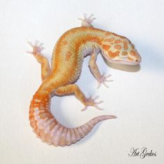 Female → WY High-Contrast Tangerine Tremper 66% Het Eclipse;