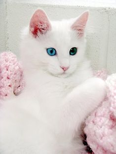 Adorable beautiful two different eye color Turkish Angora cat.... click on picture to read more