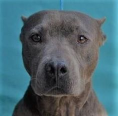 Petango.com - Meet Jackie 4y 1m Terrier Pit Bull / Mix available for adoption in VISALIA CA #pitbull