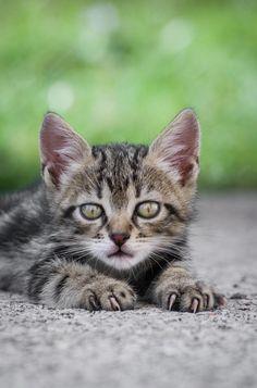 kittens by Boris Romac on Pretty Animals, Cutest Animals, Kittens Cutest, Baby Animals, Funny Animals, Small Kittens, Big Cats, Cats And Kittens, I Love Cats