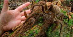 The Goliath bird-eating Tarantula, second in size (according to leg span) only to the Giant Huntsman spider. The Goliath may be the largest in terms of mass. This massive spider can reach leg spans of 11 inches. Mantis Religiosa, Large Spiders, Scary Spiders, Giant Spider, Spider Legs, Small Puppies, Wtf Fun Facts, Mammals, Creatures