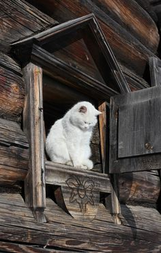 I have a soft spot for white cats. My first feline child was all white. Pretty Cats, Beautiful Cats, Animals Beautiful, Cute Animals, Pretty Kitty, Beautiful Creatures, Fluffy Animals, Beautiful Things, Beautiful Pictures