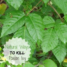 Don't just reach for the round up. There are many natural ways to kill poison ivy. See how to deal with this gardening pest: http://thegardeningcook.com/poison-ivy/