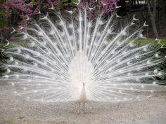 Albino Peacock - so pretty!http://ift.tt/2FMoPJH