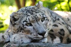 Contemplating Life Photo by Kathy L. -- National Geographic The beautiful Snow Leopard relaxes