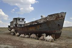 Can you imagine camels hanging out by an old shipwreck?!