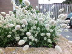 Lagurus ovatus Bunny Tails in een verhoogde bak Burm Landscaping, Backyard Landscaping, Beautiful Gardens, Beautiful Flowers, Australian Plants, Border Plants, Backyard Garden Design, White Gardens, Ornamental Grasses