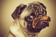 My two favorite things.....pugs and mustaches~~