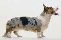 Cardigan Welsh Corgi Dog Breed Profile