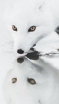 Fuchs im Wasser-Spiegel
