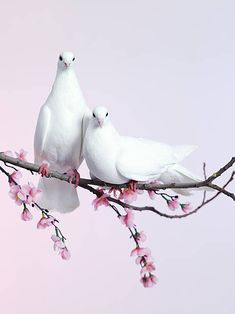 Release dove - a breed of Rock Dove (domestic pigeon) used for ceremonial release. The preferred type of release doves are homing pigeons × Cute Birds, Pretty Birds, Beautiful Birds, Animals Beautiful, Cute Animals, Dove Pictures, Bird Pictures, Dove Images, Beautiful Pictures