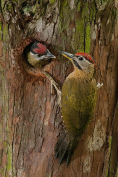 Lace Woodpecker (Picus vittatus)