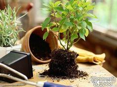 """Комнатные растения нужно подкармливать. Советы. Секрет роскошного комнатного цветника прост: растения нужно хорошо подкармливать, иначе не дождаться ни пышной листвы, ни хорошего цветения. Жесткая """"диета"""", когда растение длительное время испытывает нехватку питательных веществ, обычно приводит к заболеванию – ведь сил для сопротивления у растения нет. Но как правильно составить меню для зеленых питомцев, учитывая их разные вкусы? *Практически все растения любят сахар (а кактусы…"""