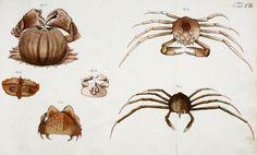 Bd. 1 - Versuch einer Naturgeschichte der Krabben und Krebse : - Biodiversity Heritage Library