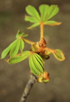 New young leaf on chestnut tree