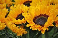 Beautiful sunflowers nature flowers autumn field country fall bright yellow sunflowers bunch