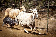Herding Sheep in Acton, CA