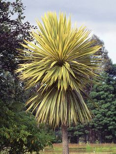 New Zealand Cabbage Palm  Cordyline australis 'Albertii'; A palmlike, evergreen shrub that can grow to the size of a small tree. In frost-prone areas, grow in a container and provide shelter in winter. H 10–30 ft (3–10 m); S3-12 ft (1-4 m).