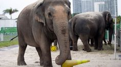 Goodbye To Jumbo: The Elephants Leave The Circus. Hold The Champagne.
